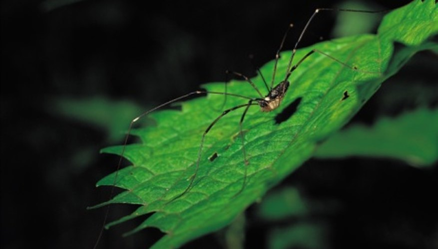 Birds and larger spiders prey on daddy longlegs.