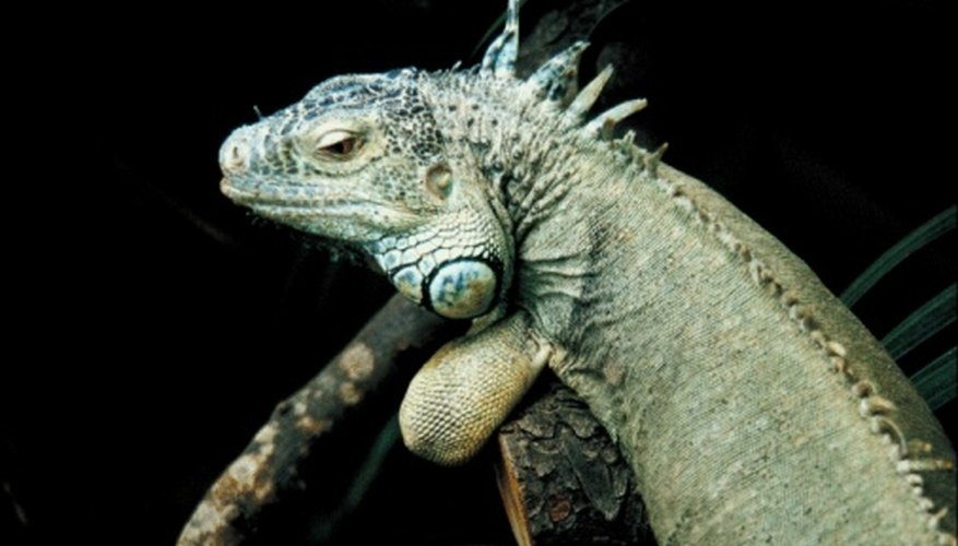 The iguana is a type of tropical  lizard.