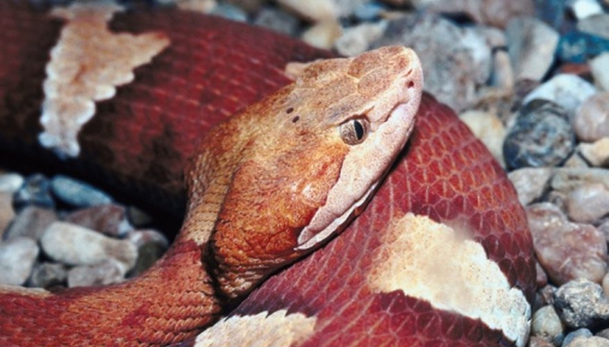 Copperheads prey on small mammals, lizards and amphibians.