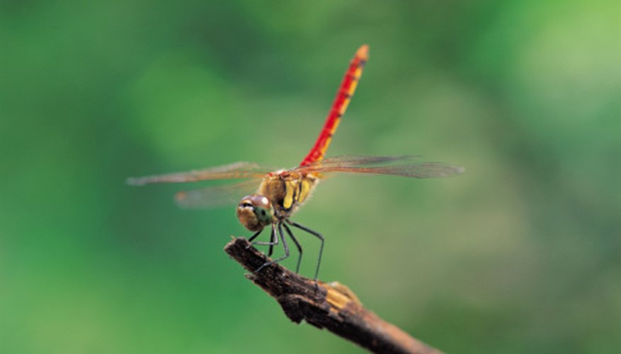 The dragonfly holds its wings fully extended when at rest.
