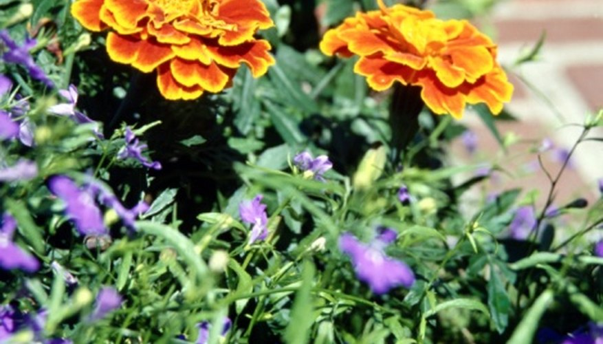 Bicolored French marigolds contrast with the purple of lobelia flowers.