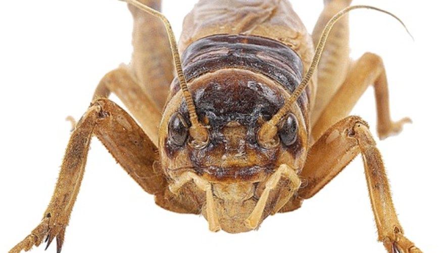 Crickets are often found under rocks.