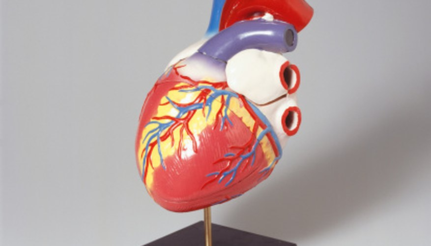 The aorta and superior and inferior vena cavae connect to the heart.