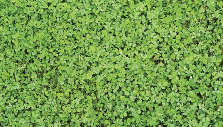 Some clovers make an attractive lawn that you never need to mow.