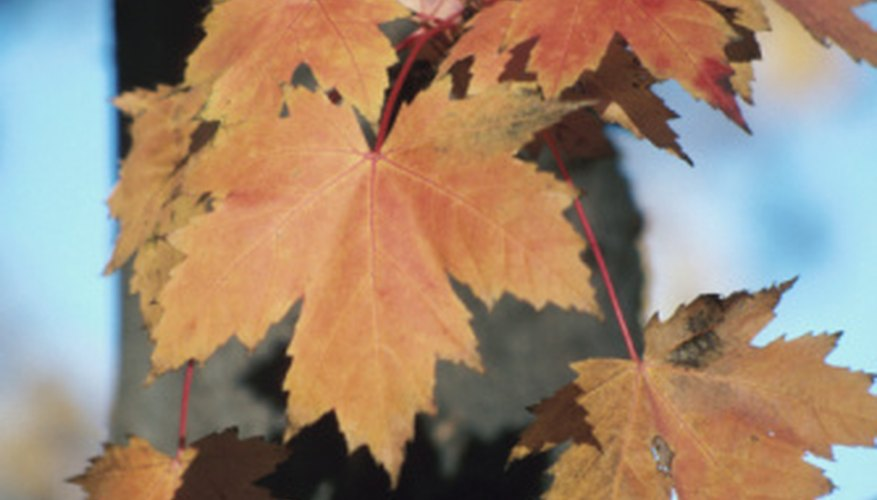 Fall leaves hang from a sugar maple tree.