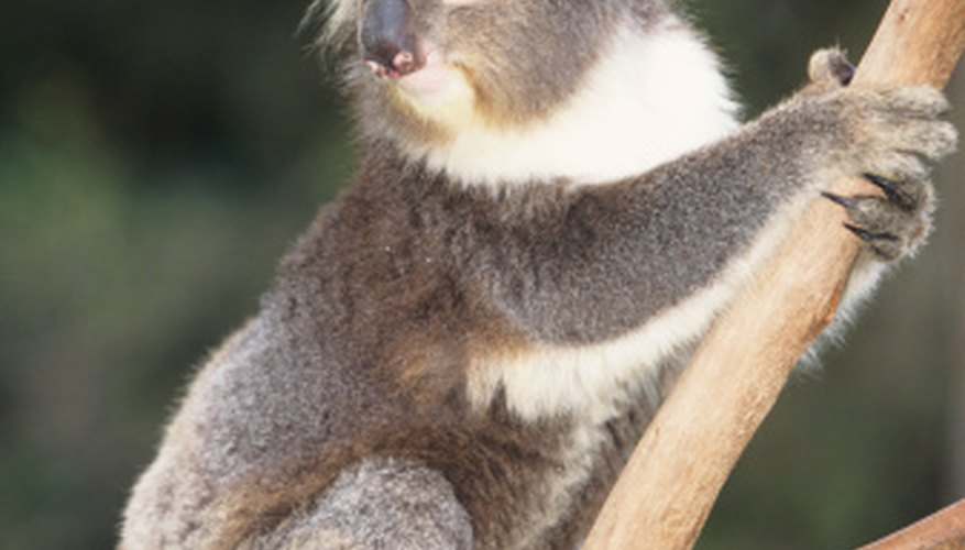 Koalas spend most of their lives in trees.