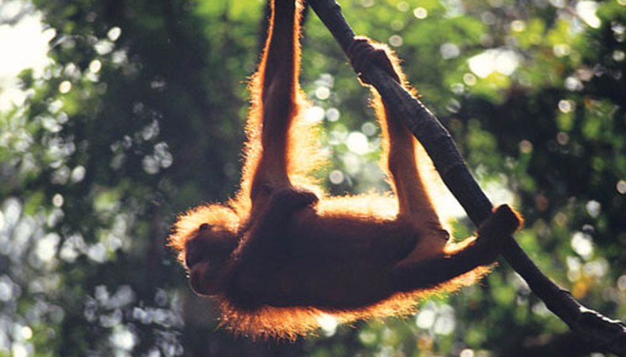 Orangutans travel alone so they can find enough food.