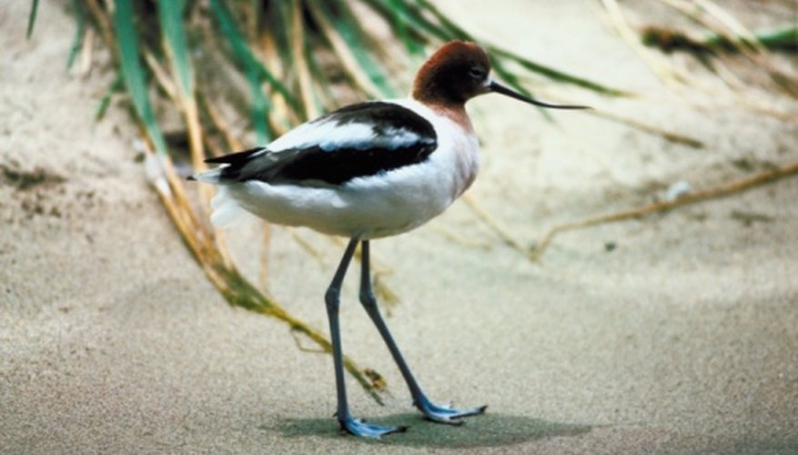 An upturned bill and blue legs help distinguish the American avocet.