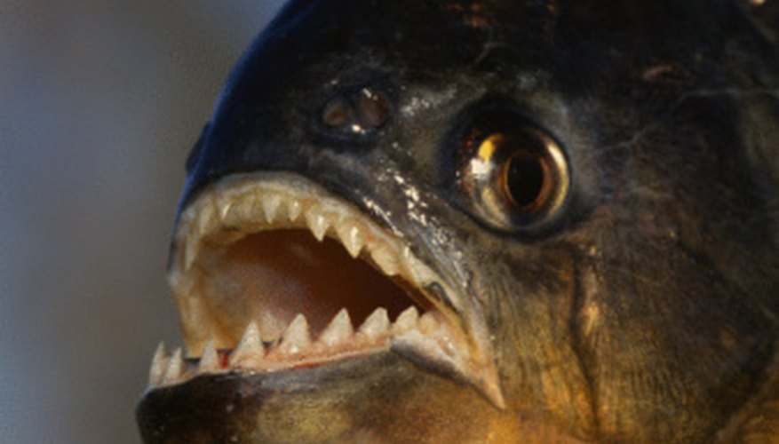 Piranhas dwell in the rivers of the Amazon Rainforest.