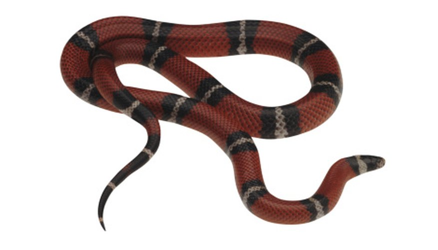 The eastern milk snake is found in northeast Tennessee.