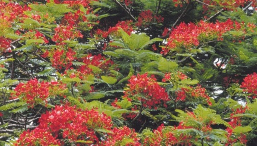 Depending on rainfall patterns, royal poinciana blooms with or without leaves present.