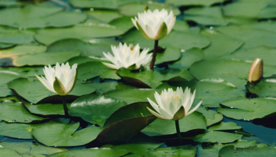 Many animals eat some part of the water lily.