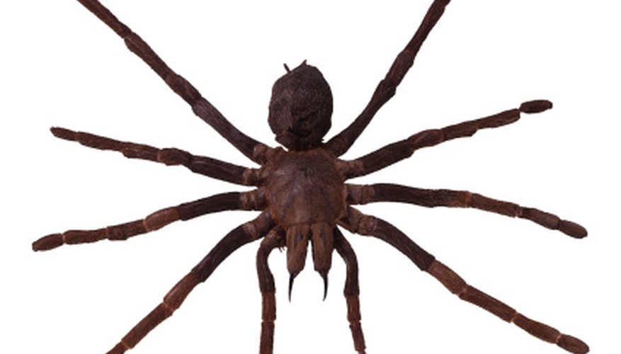 Wolf spiders are similar in appearance to tarantulas.