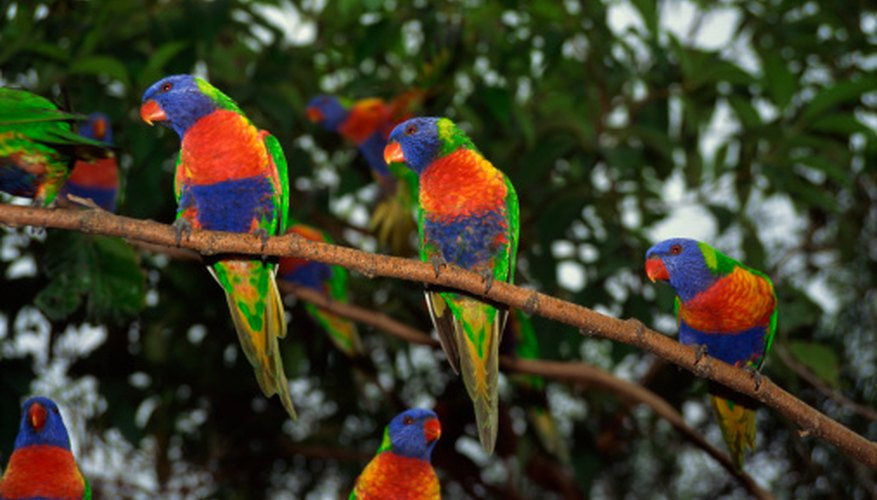 Rainbow lorikeets: Escaped nectar-feeding parrots may use hummingbird feeders.