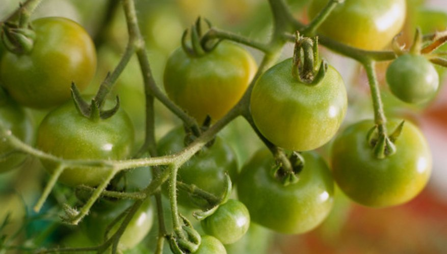 Tomatoes need the proper conditions to produce high yields.