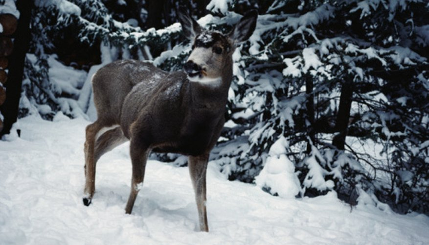 Some varieties of fast-growing evergreens are deer-resistant.