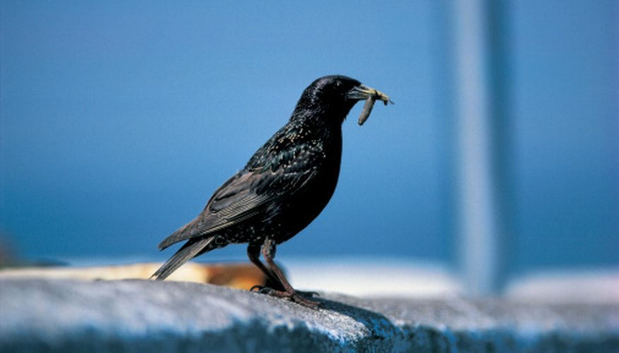 Some birds, including starlings, are pests and may get stuck in a glue trap.
