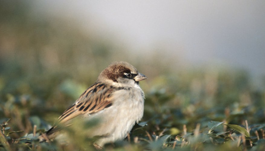 Common House Sparrows, like most other kinds of sparrows, usually eat on the ground.