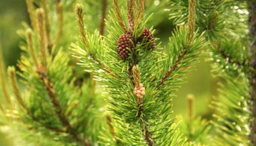 Developing cones on a pine tree