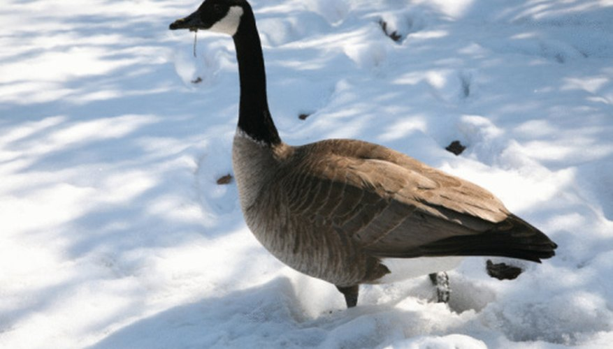The Canada goose is one of eight species of geese.