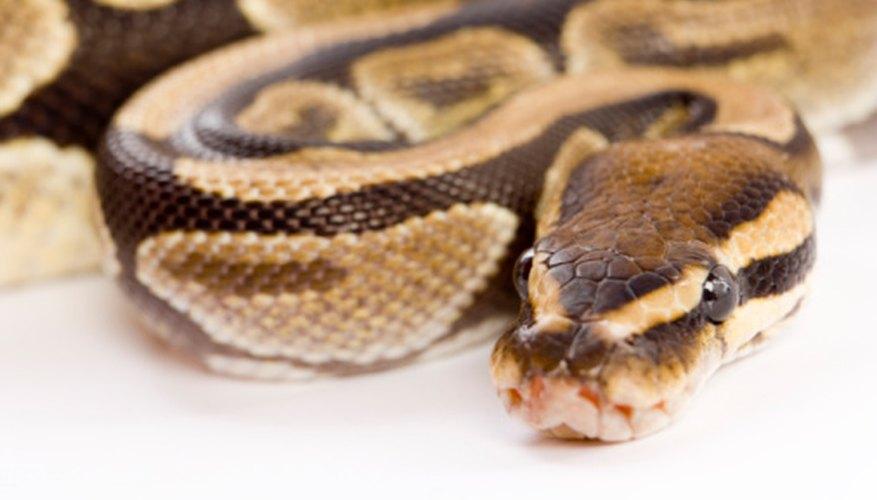 Differences Between a Boa, Python, & Anaconda