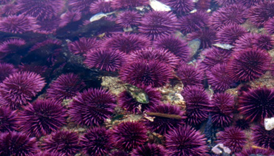 A colony of sea urchins can resemble a bed of flowers--that sting.