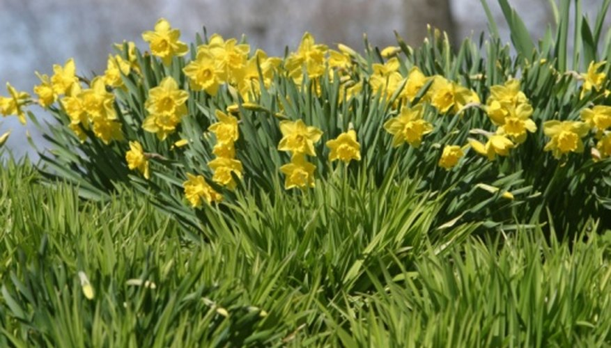 More Interesting Than Food Narcissus >> Are Daffodils Perennials Garden Guides