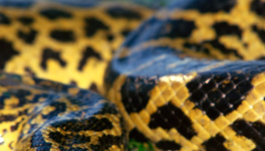 The world's largest snake, the anaconda, kills by asphyxiating its prey.