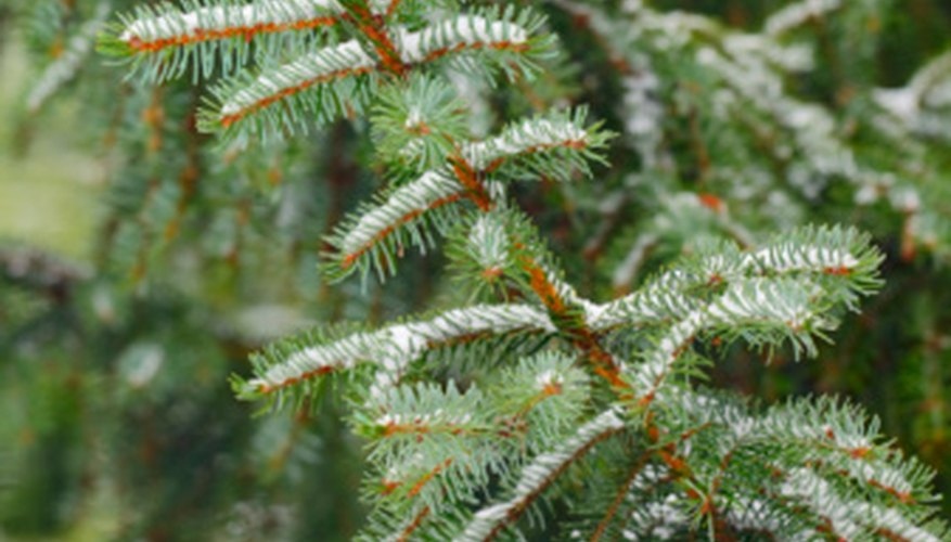 Spruce trees are advancing into the tundra faster than expected as global temperatures rise.