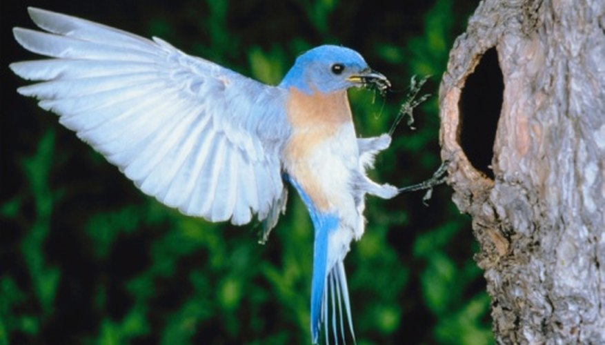 Bluebirds are cavity-nesting birds that will nest in properly placed bluebird houses.