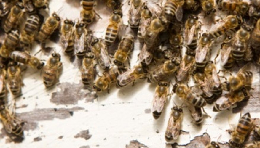 Honeybees have clear wings and light fuzz on their bodies.