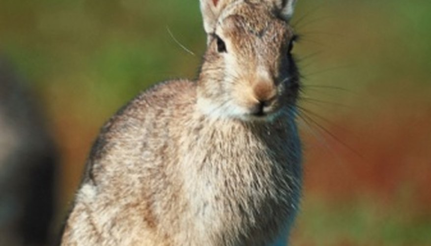 Rabbits can cause extensive damage to bedding plants.