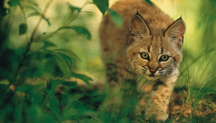 Bobcats are loners that live in one main den and several secondary dens.
