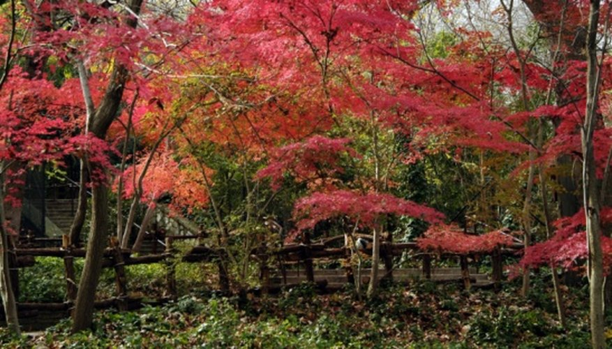 Growing several varieties of Japanese maples together creates a riot of color.