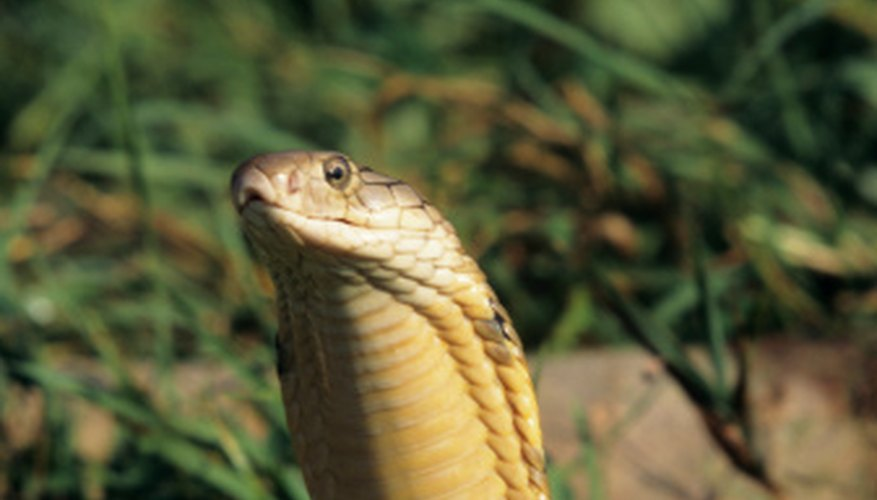 King cobras are the largest of the cobra family.