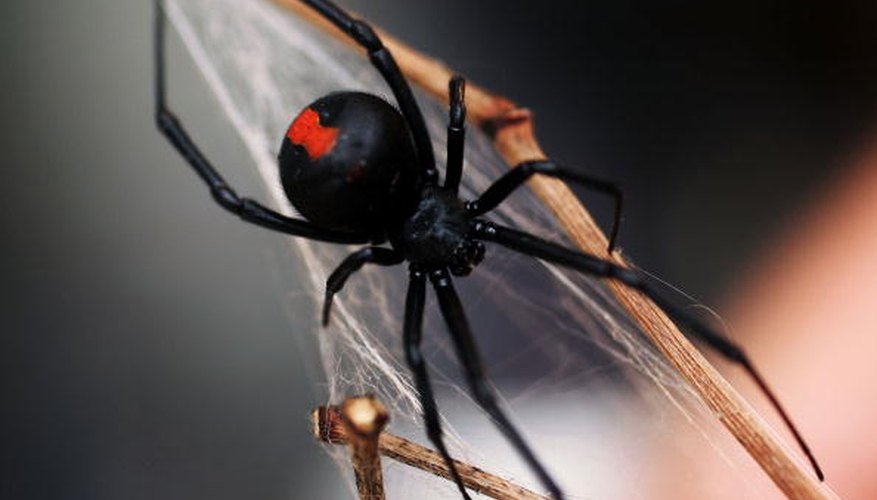 Southern black widows are more common in Tennessee than the Northern variety.