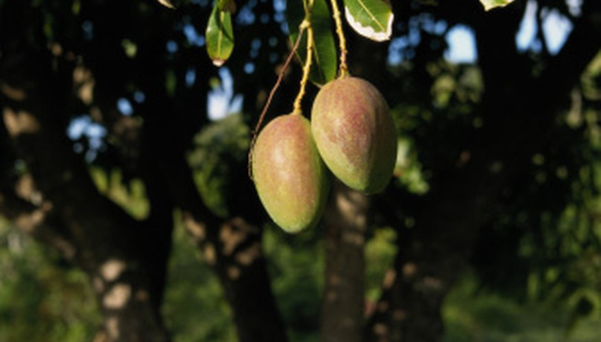 Types Of Mango Trees Garden Guides