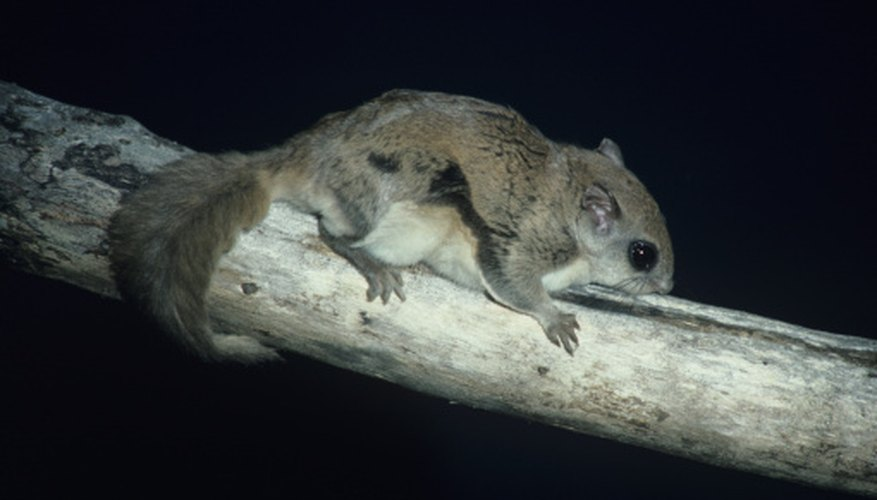 Both northern and southern flying squirrels in North America face many predators.