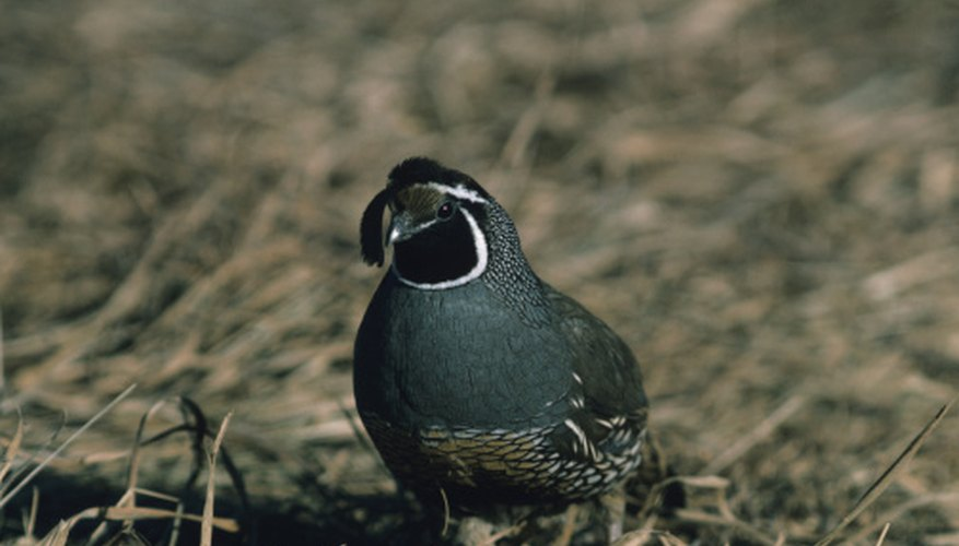 The call of the male California quail sounds like a repeated nasal