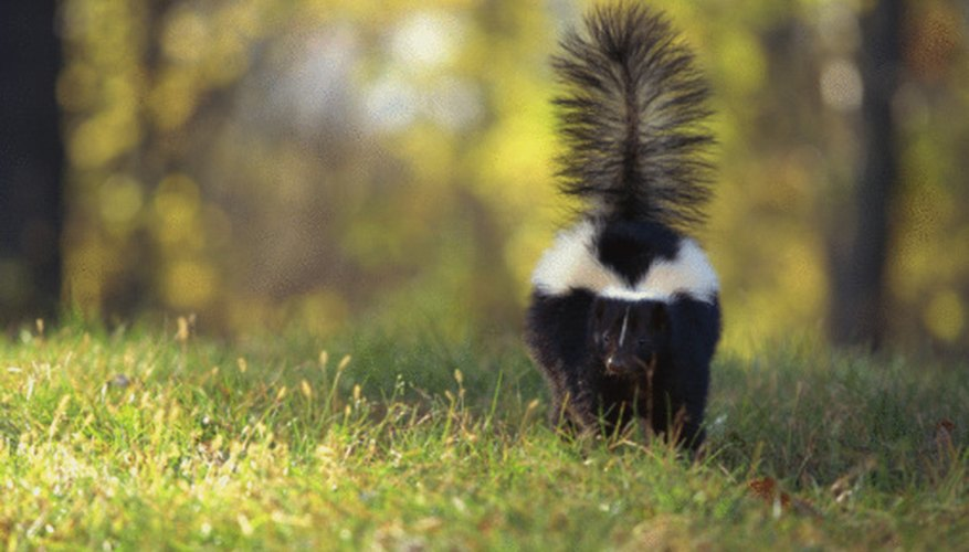 Striped skunks are native to forest and grassland habitats.