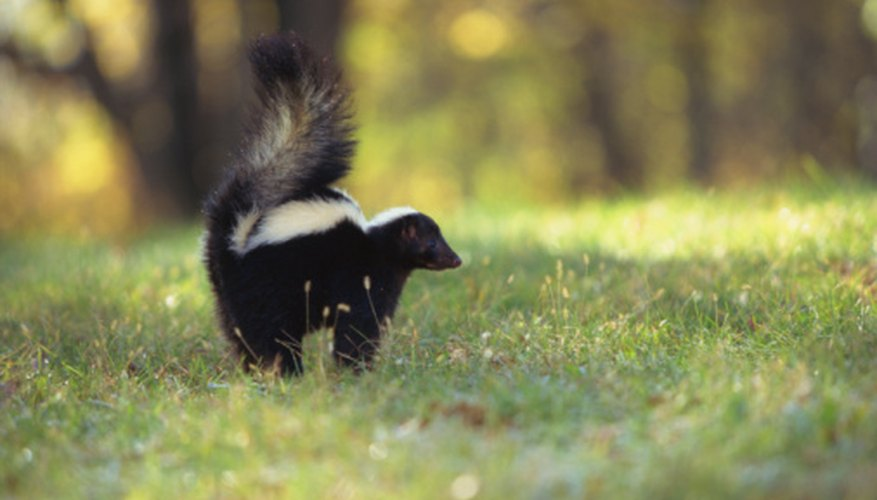 Skunks search for grubs underground by digging up the lawn.