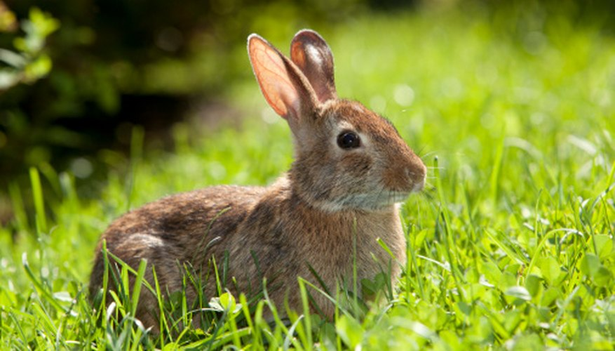 Rabbits, squirrel, moles, voles, chipmunks, rats and mice are considered rodents.