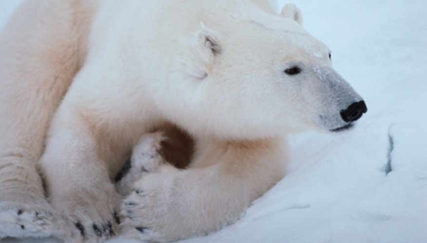 The polar bear is listed under the Endangered Species Act.