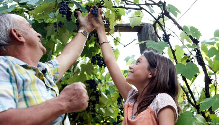 Grapevines provided proper care may continue to bear fruit for up to 40 years.