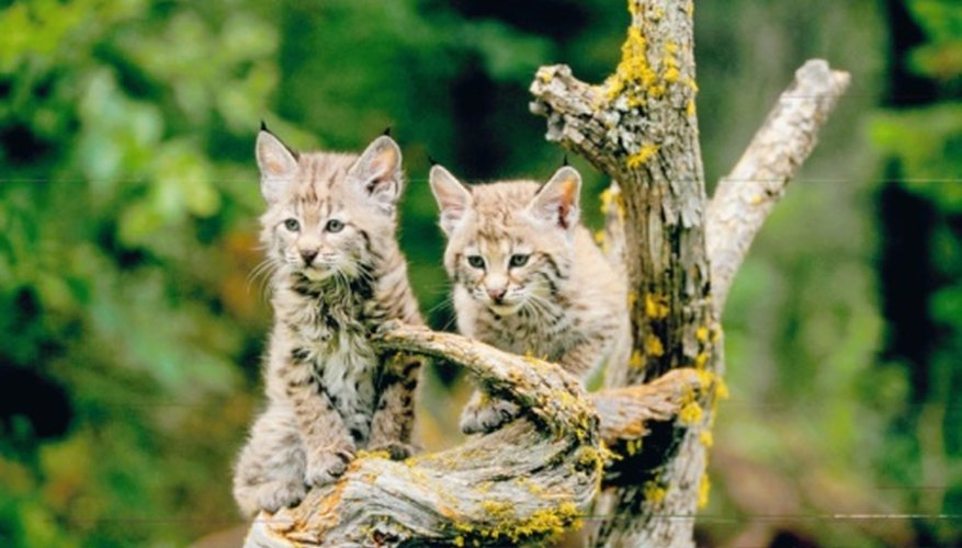 The bobcat is part of the Lynx genus.