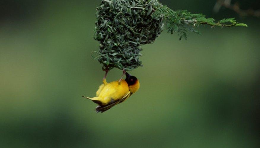 Weaver birds build pendulous nests.