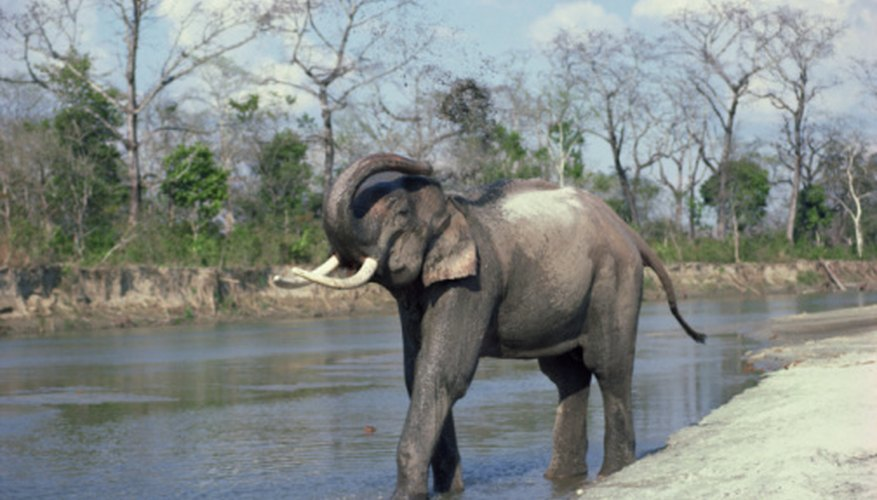 Asian elephants use their trunks for foraging, bathing, communication and defense.