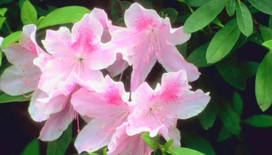 Azaleas are the signature plant of the South.