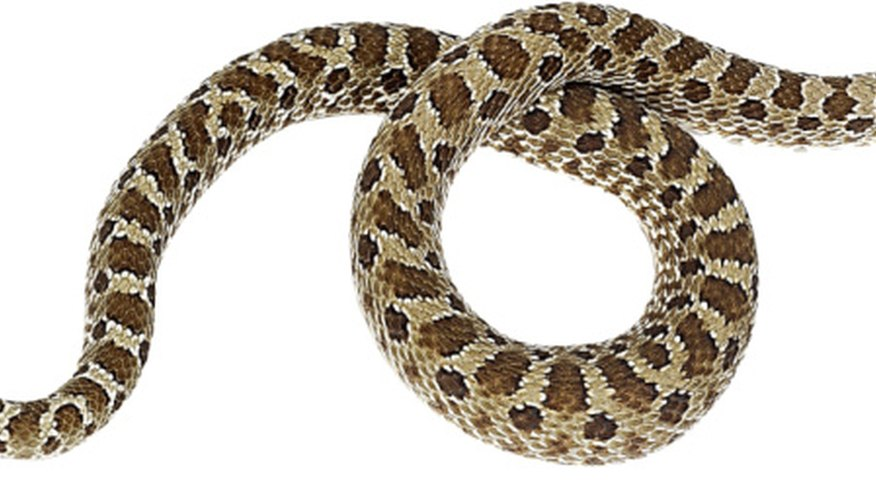 The Western hognose snake is native to Mississippi.