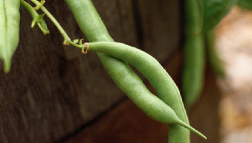 Beans are a popular choice for home gardens.
